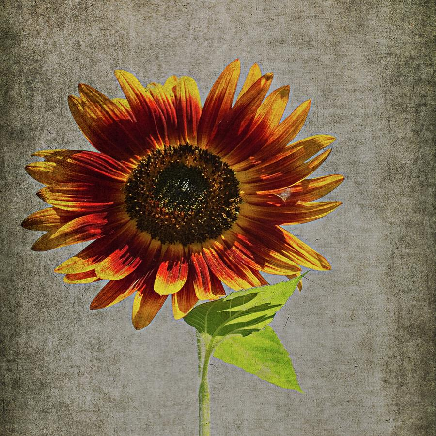 Textured Sunflower by Guy Whiteley