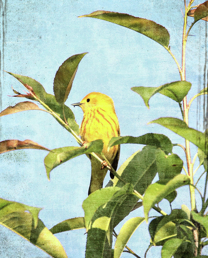 Textured Yellow Warbler by Dan Sproul