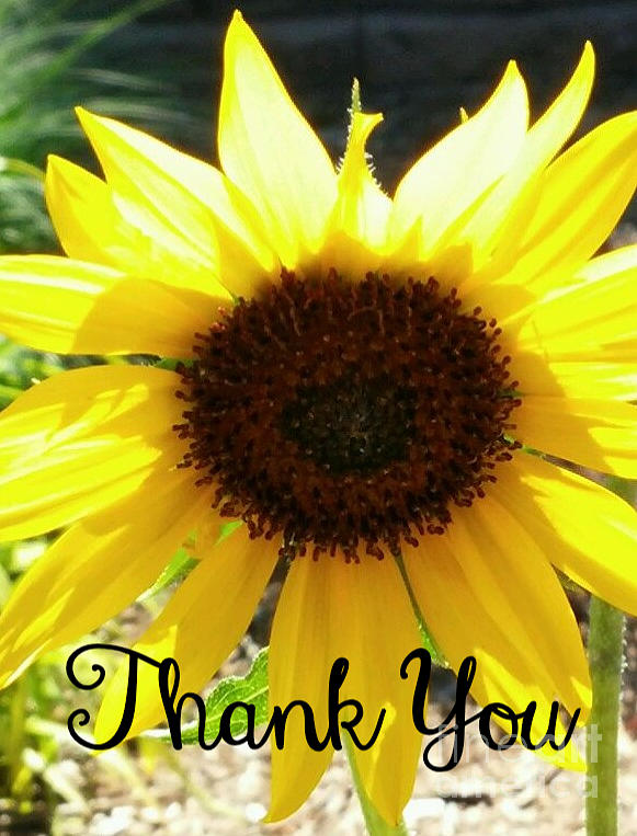 Sunflower Thank You Note Photograph