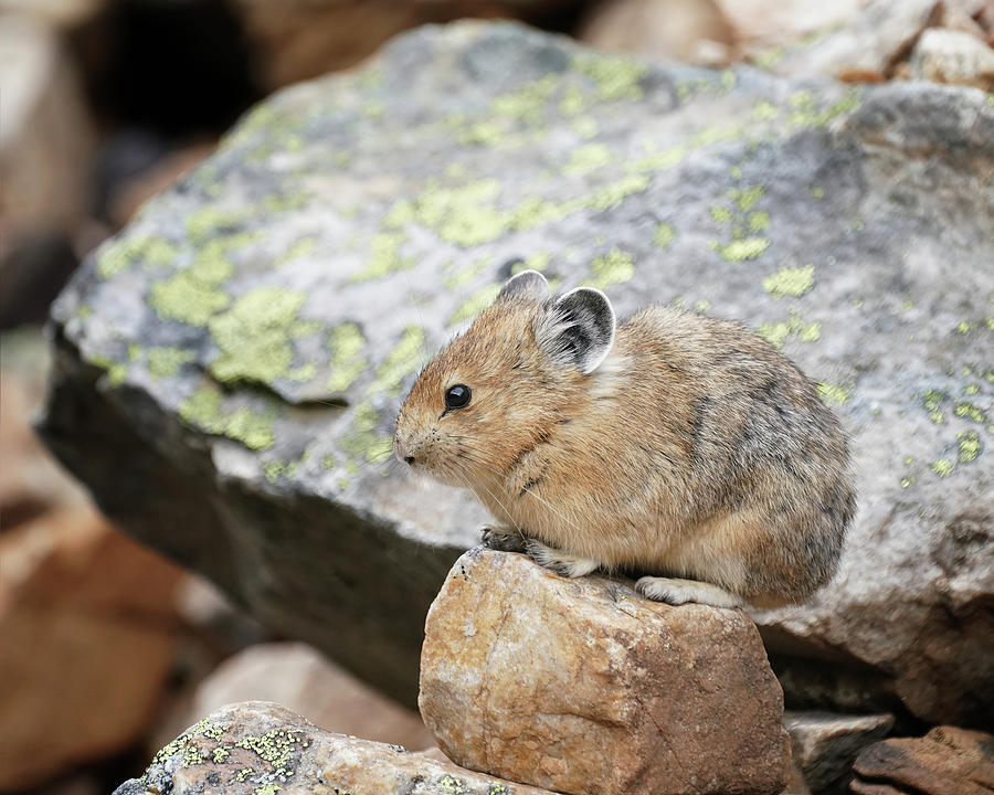 The Adorable Pika by Jemmy Archer