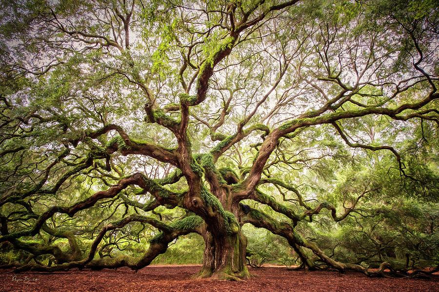The Angel Oak by Phyllis Burchett