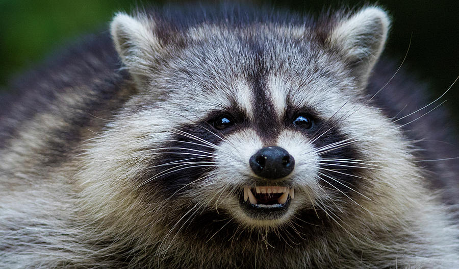 The Angry Raccoon by Mircea Costina Photography