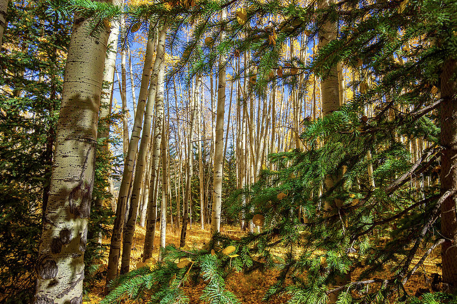 The Aspens and the Evergreens by Tim Stanley