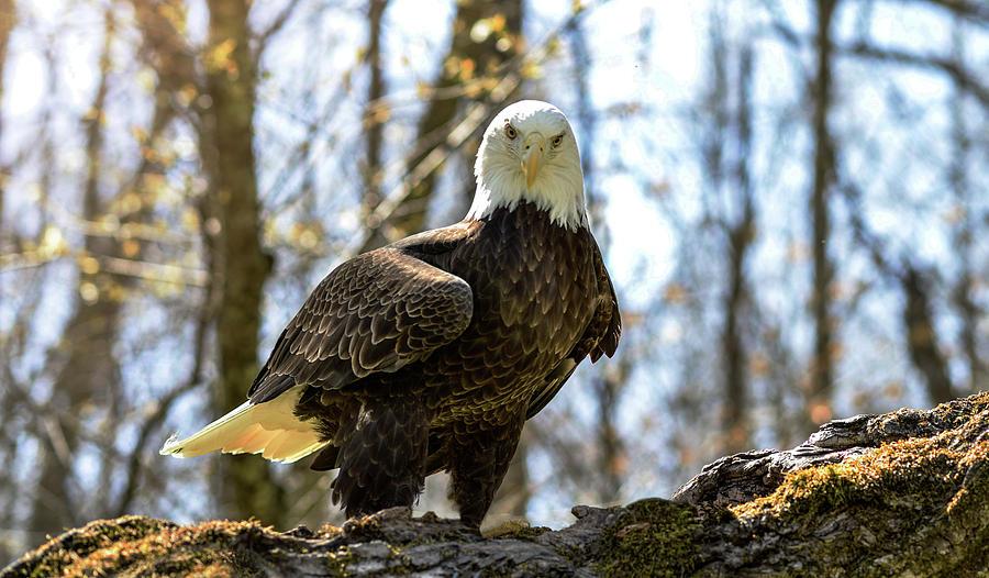 The Bald Eagle Collection III by Lj Lambert