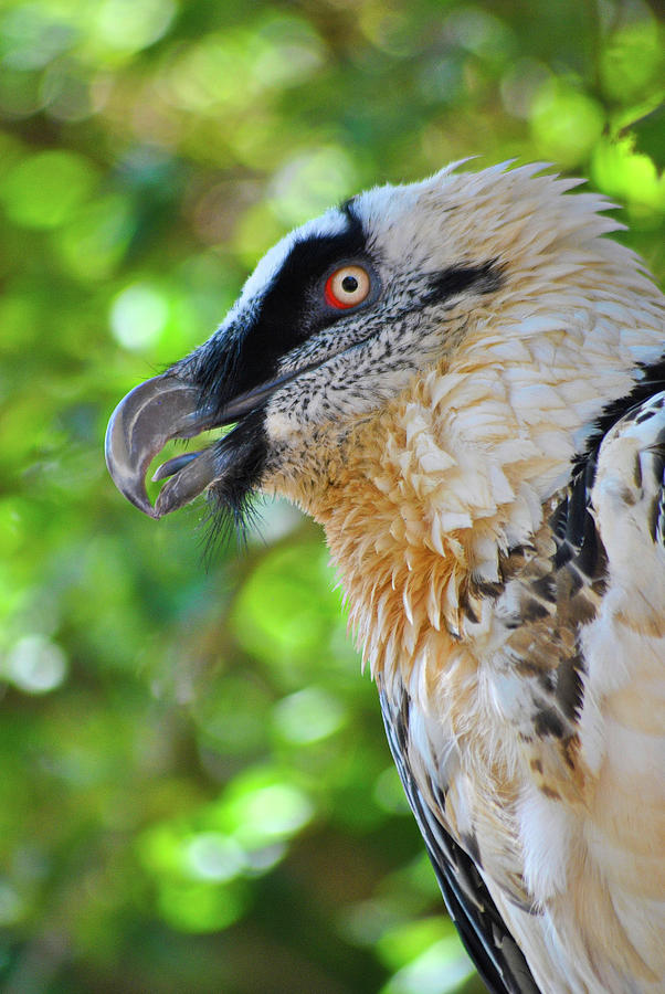 The Bearded Vulture by Darren Weeks