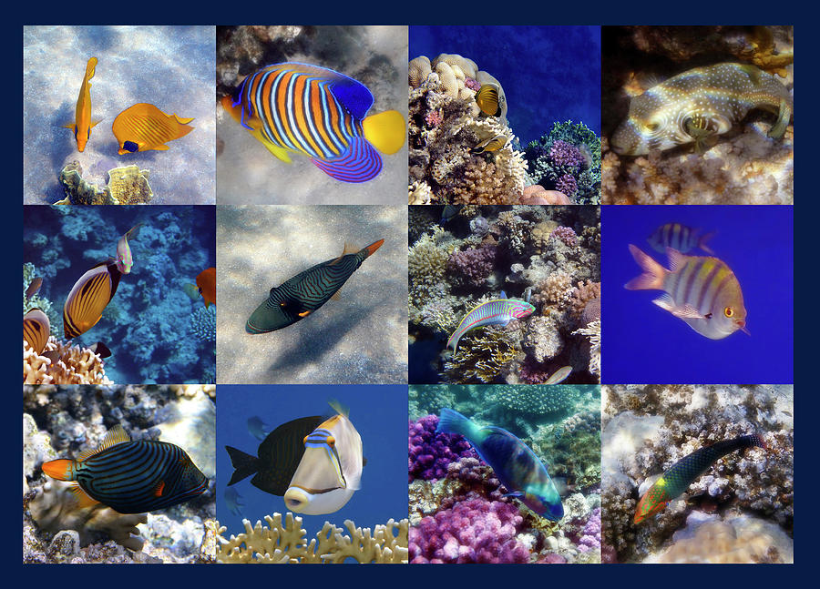 Sealife Photograph - The Beautiful And Colorful Red Sea Sealife Collage by Johanna Hurmerinta