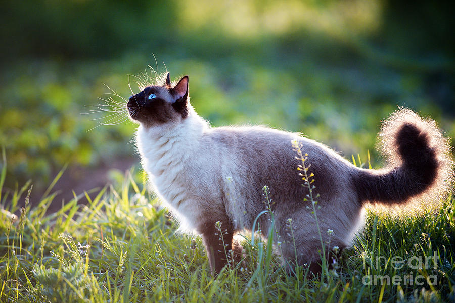 Wool Photograph - The Beautiful Brown Cat, Siamese, With by Bershadsky Yuri