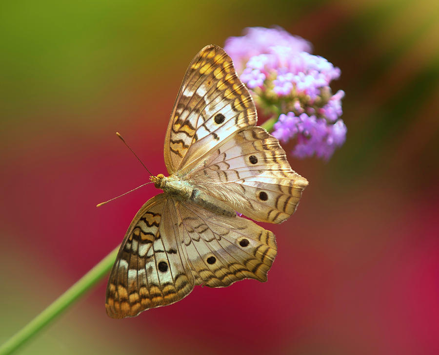 The White Peacock Butterfly by Will Moneymaker