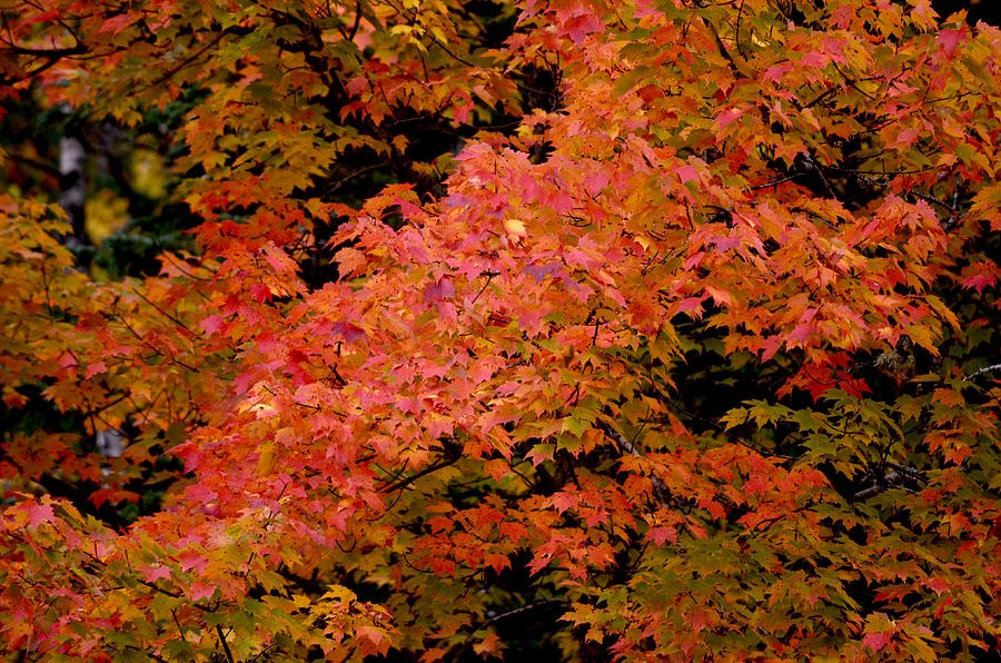 The Beauty of Maples by Hella Buchheim