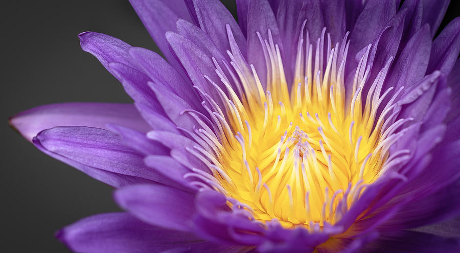 The Beauty of Water Lilies by Will Moneymaker