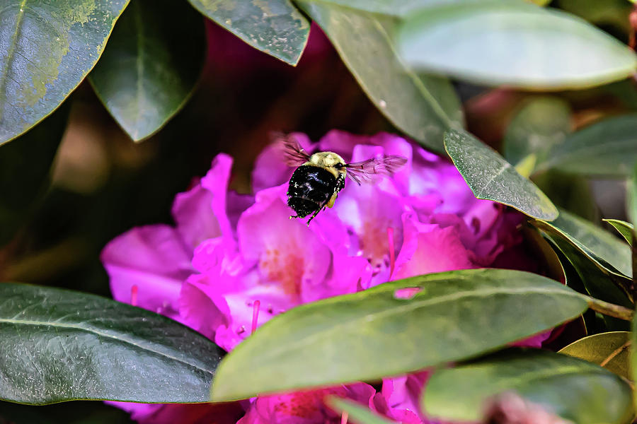 The Bee and Rhododendron by Ed Stines