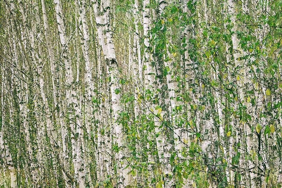 The birch silence. Sunychne, 2018. by Andriy Maykovskyi
