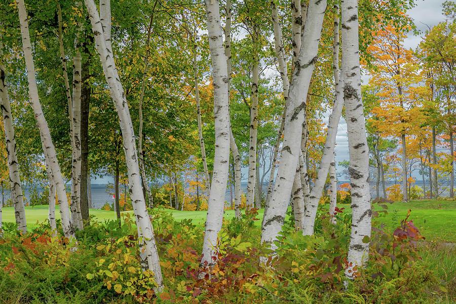 The Birches by Patti Raine