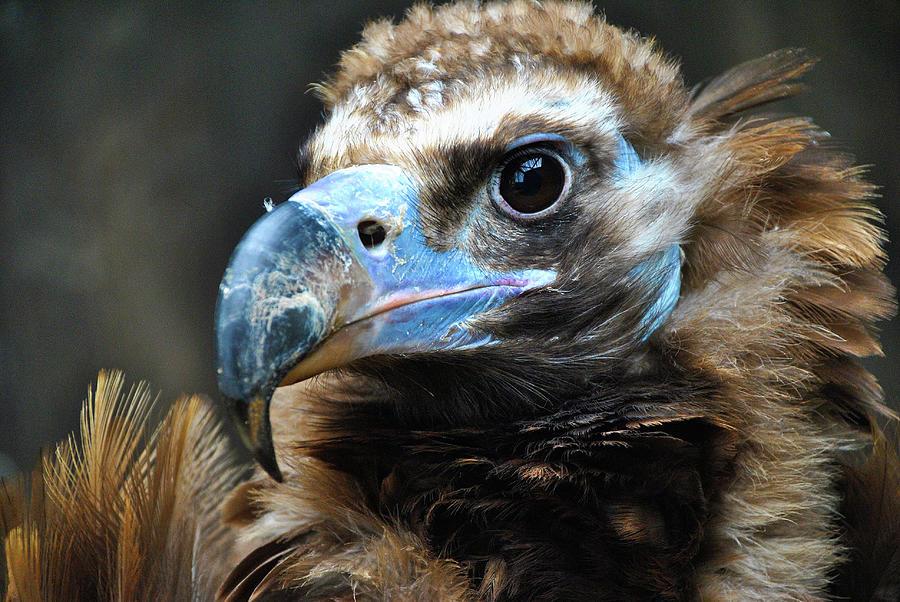 The Black Vulture by Darren Weeks