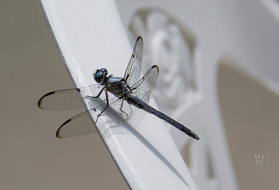 The Blue Dasher by Yvonne Wright
