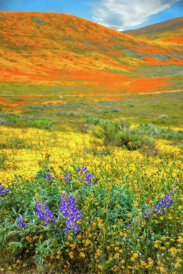 The Bright Side - Superbloom 2019 by Lynn Bauer