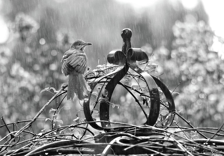 The Brown Thrasher in Black and White by Trina Ansel