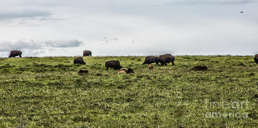 The Buffalo Still Roam by Kathy McClure