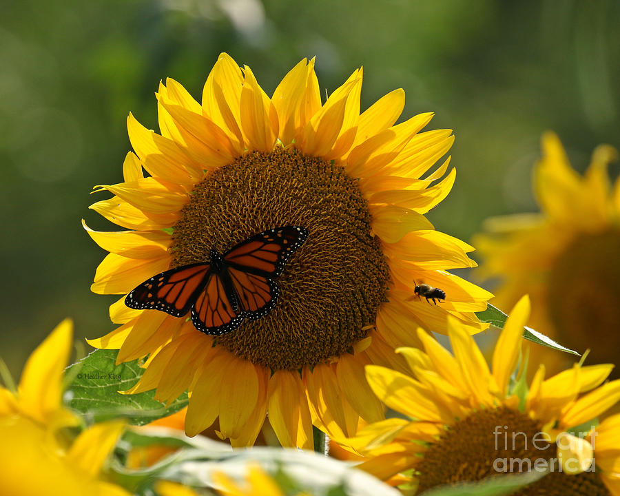 The Butterfly The Bee And The Sunflower Photograph