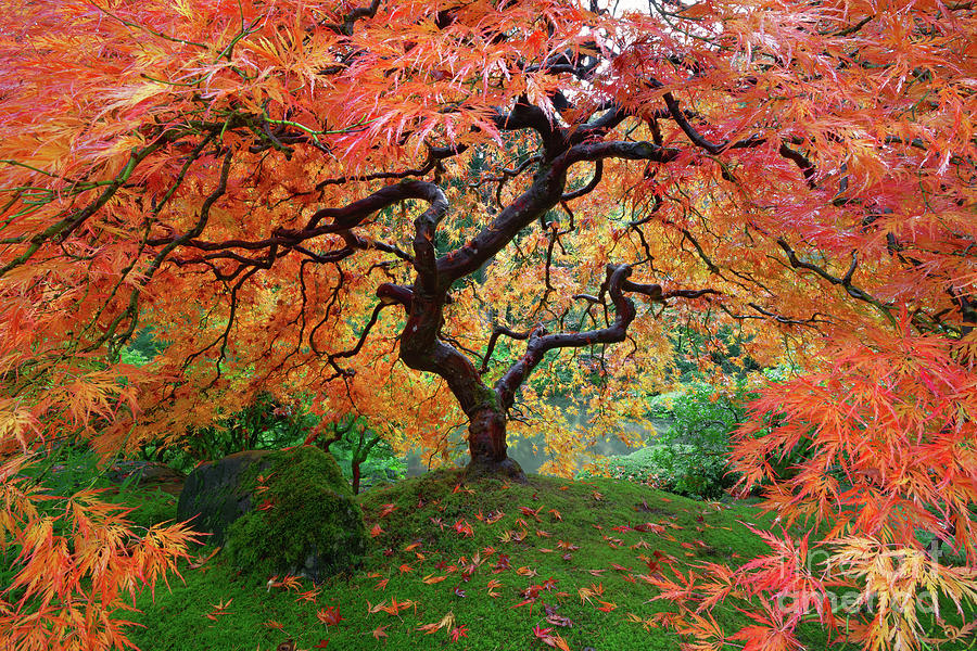 Laceleaf Maple At Portland Japanese Garden With Autumn Foliage