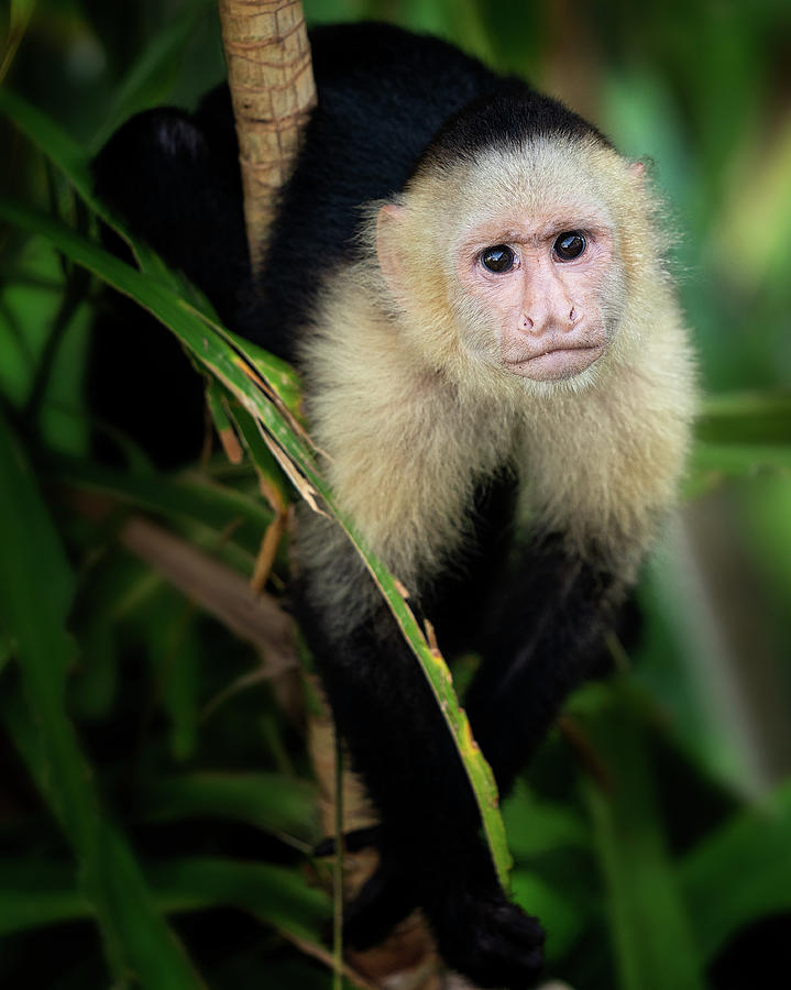 The Capuchin Stare by Darylann Leonard Photography