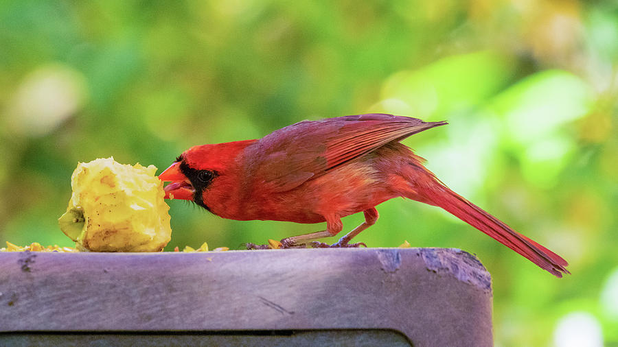 The Cardinal And The Apple Photograph by Brian Caldwell