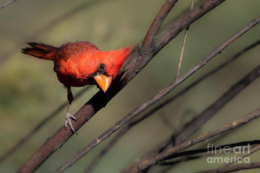 The Cardinal Look by Lisa Manifold