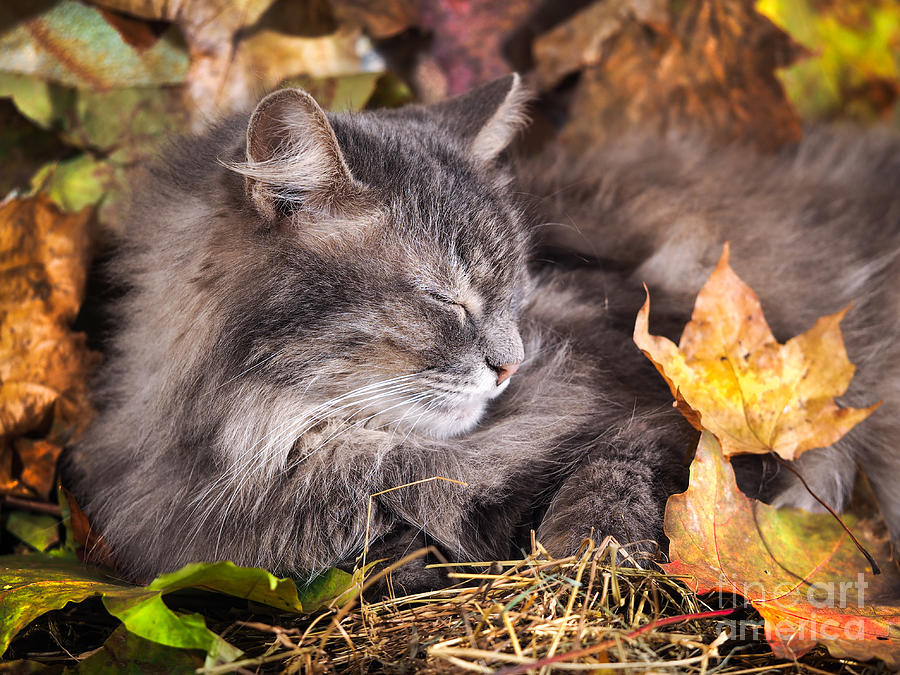 Fur Photograph - The Cat Sleeps In Colorful Autumn by Irina Kozorog