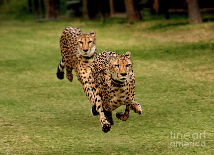 The Cheetah Brothers by Julian Starks