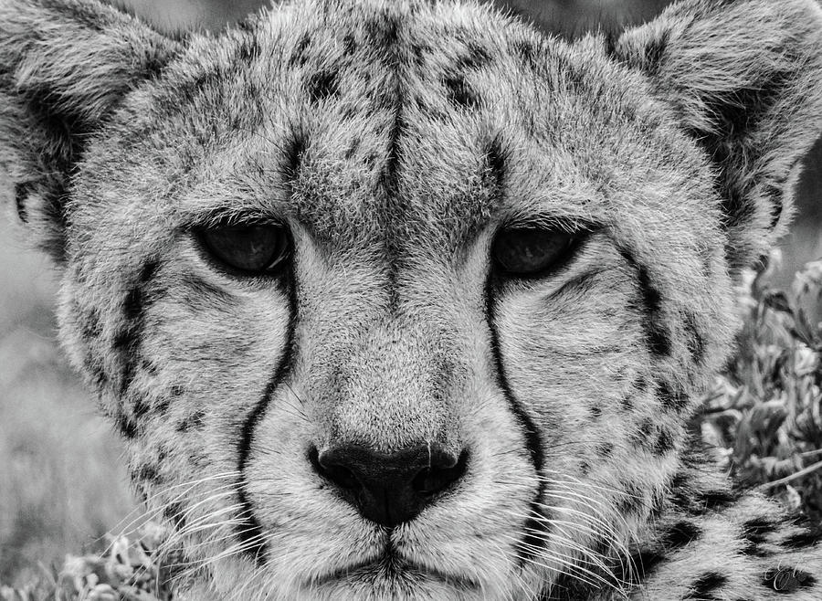 THE CHEETAH by Elie Wolf