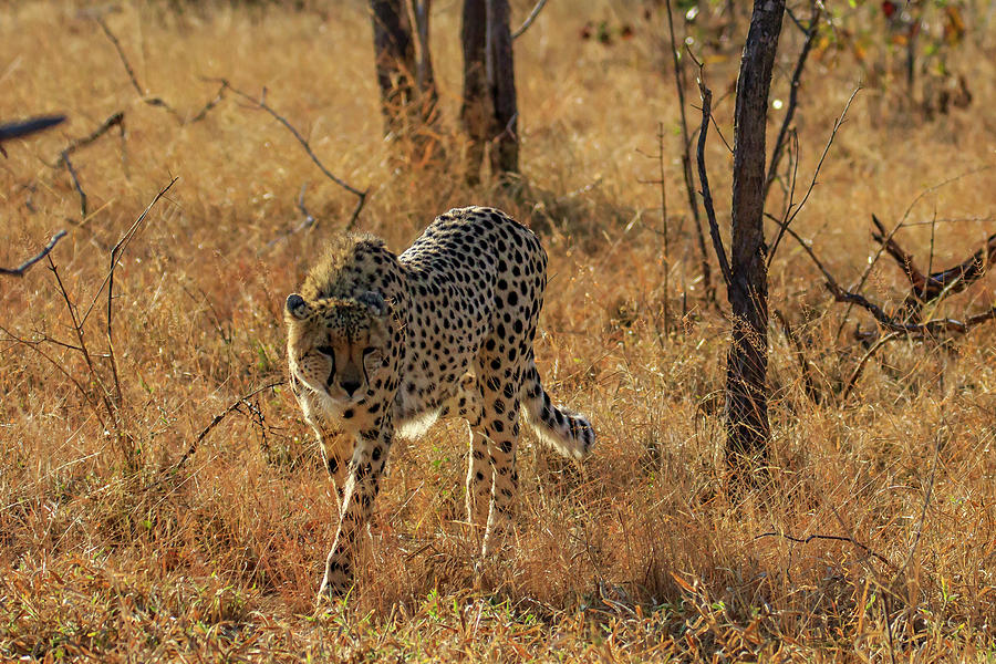 The Cheetah by Gary Hall