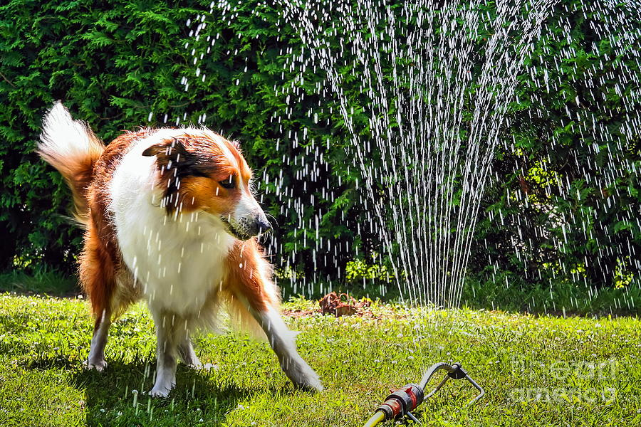 Hot Photograph - The Collie Is Avoiding The Sprinkler In by Dieterjaeschkephotography