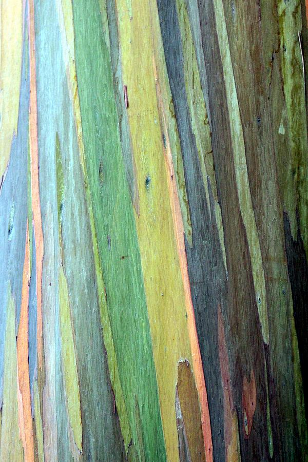The Colorful Eucalyptus Tree Photograph By Christopher Miles Carter