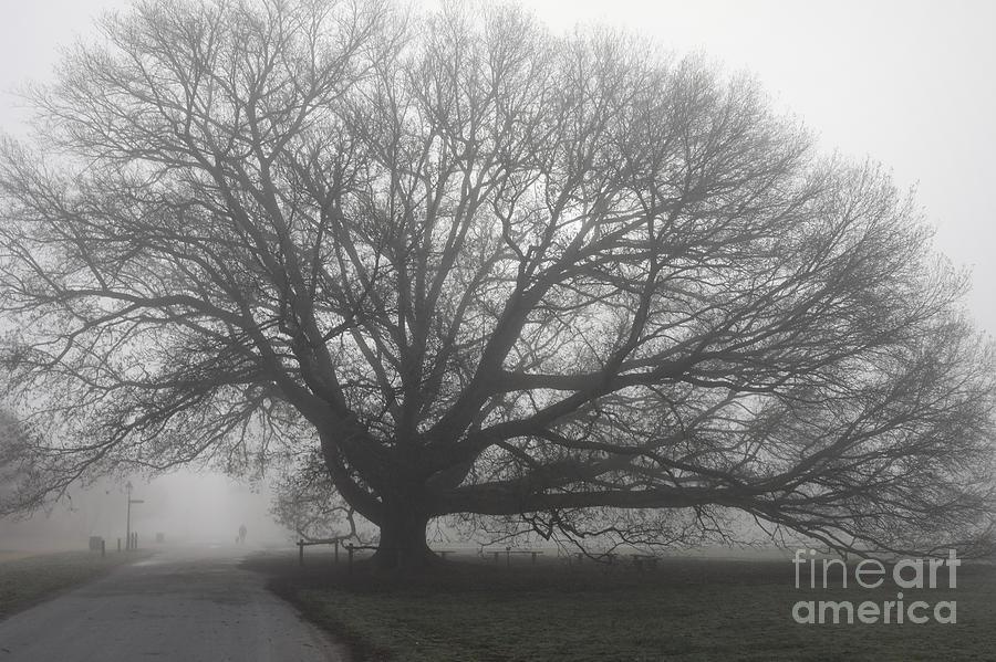 The Compton Oak in March Fog by Rachel Morrison