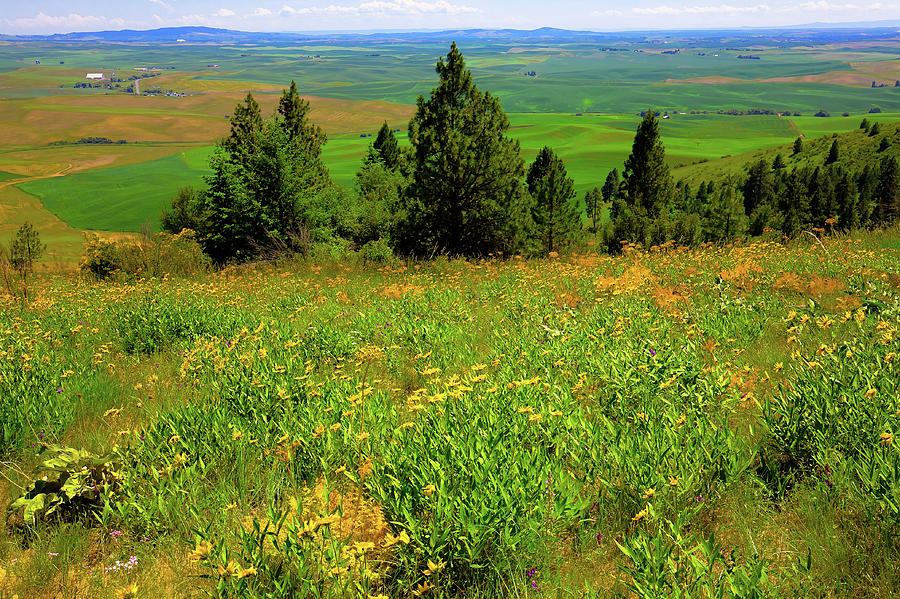 The Daisies on Kamiak by David Patterson
