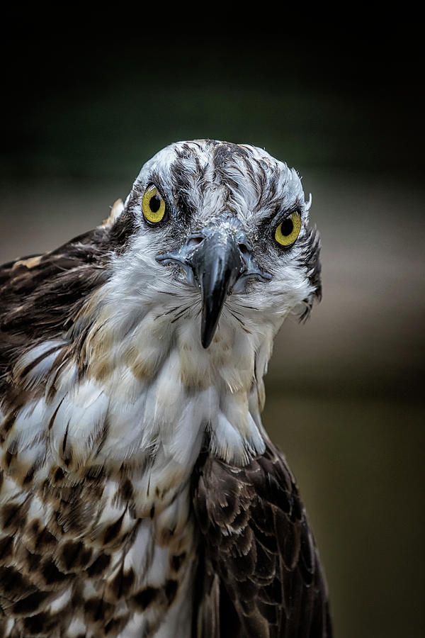 The Direct Stare of an Osprey by Belinda Greb