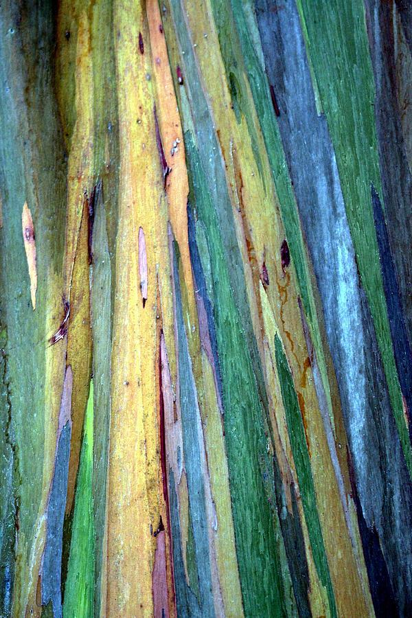 The Eucalyptus Deglupta Photograph By Christopher Miles Carter