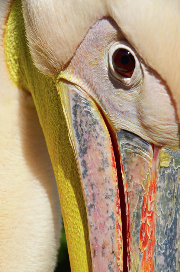 The Eye of the Pelican by Darren Weeks
