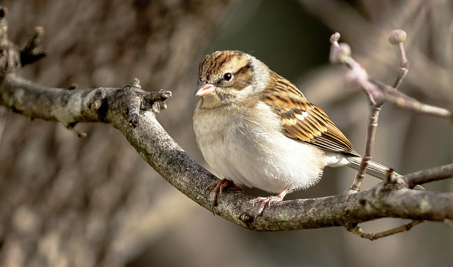 The Fat Little Chipping Sparrow by Ed Stines