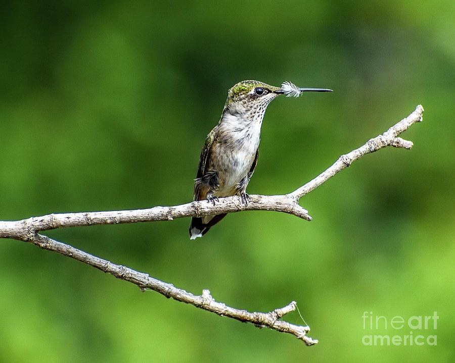 The Feather Goes To The Victor - Ruby-throated Hummingbird Photograph