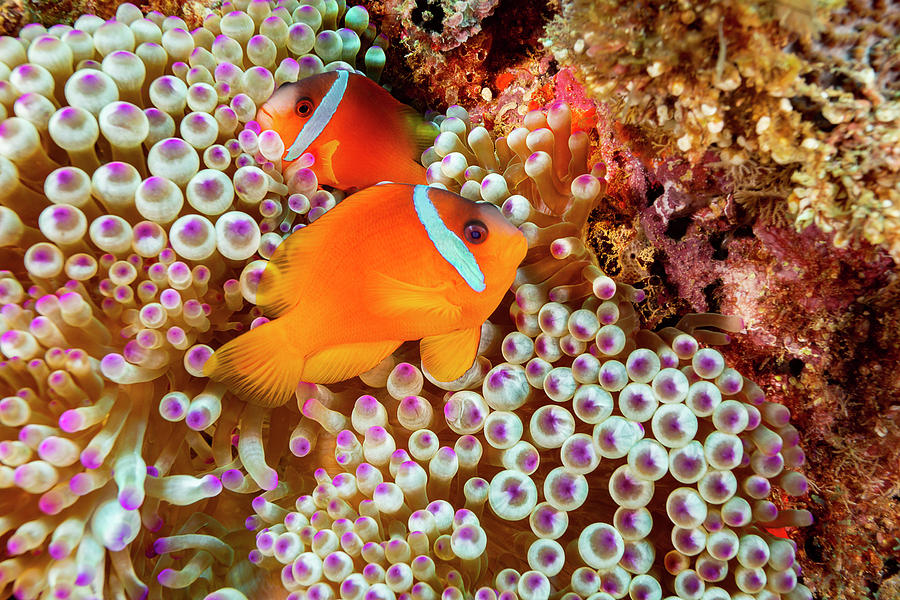 The Fiji Clownfish  Amphiprion Barberi by Dave Fleetham