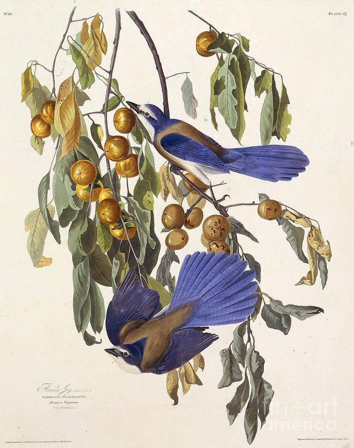 The Florida Scrub Jay From The Birds Drawing by Heritage Images
