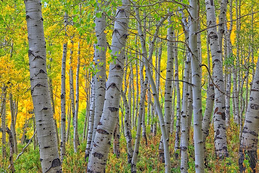 Aspens Photograph - The Gentleness Of Aspens 1 by Mitch Johanson