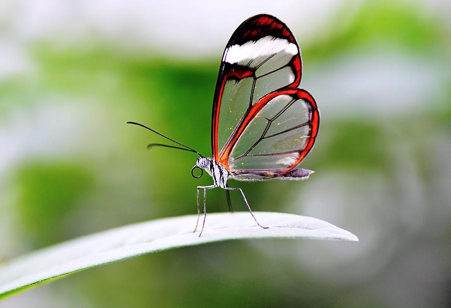 The Glasswinged Butterfly By Pallab Seth