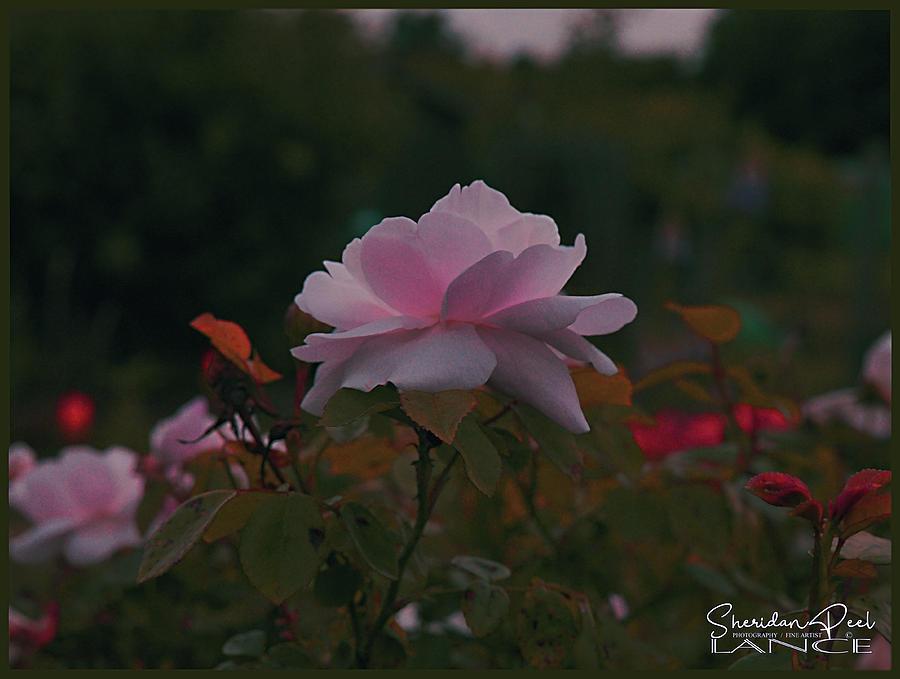 The Glowing Rose by Lance Sheridan-Peel