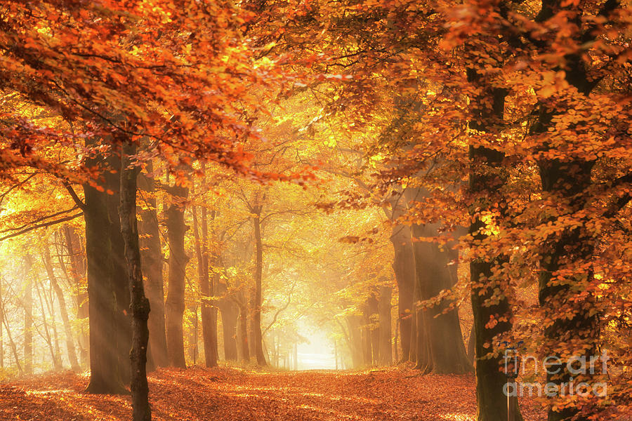 The Golden Light Of A Forest In Autumn Photograph By Ipics Photography