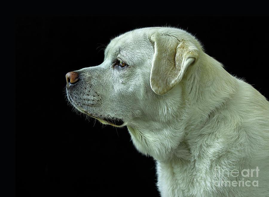 The Good Boy-Labrador Retriever Portrait by Diane Diederich
