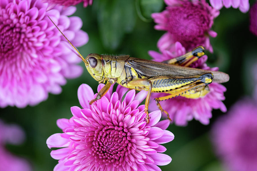 The Grasshopper and the Mums by Todd Henson