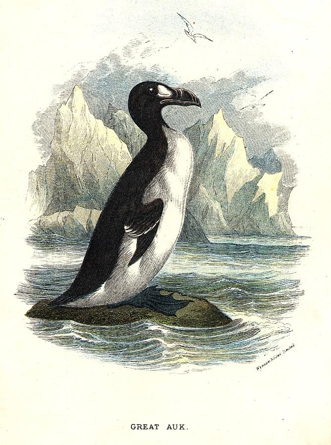 The Great Auk Photograph by Hulton Archive