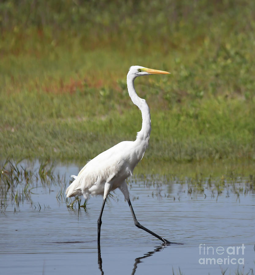 The Great Egret  by Kerri Farley